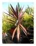 cordyline-australiana-purple-tower